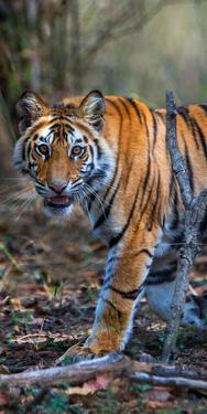 Bengal Tiger (Panthera Tigris Tigris), Bandhavgarh National Park, Umaria District