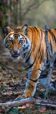 Bengal Tiger (Panthera Tigris Tigris), Bandhavgarh National Park, Umaria District