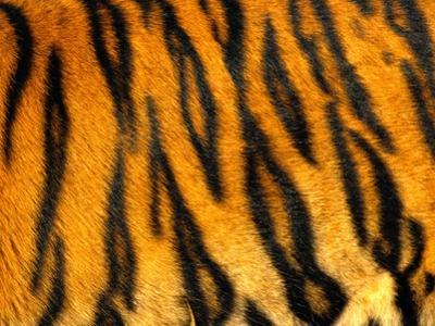 Bengal Tiger Skin Pattern