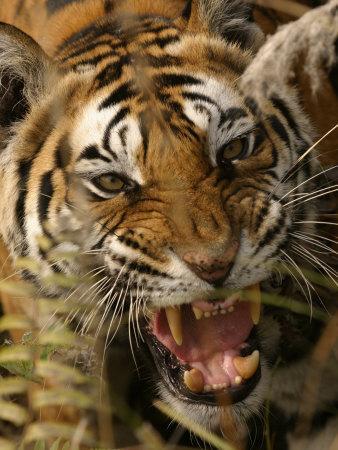 https://imgc.allpostersimages.com/img/posters/bengal-tiger-snarling-madhya-pradesh-india_u-L-Q10RDAF0.jpg?p=0