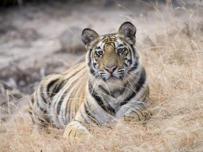 https://imgc.allpostersimages.com/img/posters/bengal-tiger-young-female-lying-in-soft-grass-madhya-pradesh-india_u-L-Q10R4A10.jpg?p=0