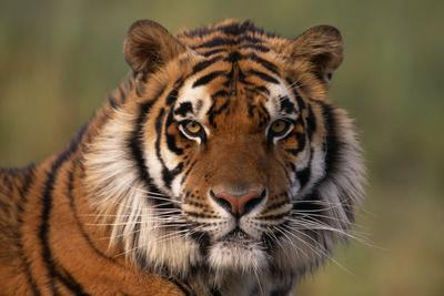 https://imgc.allpostersimages.com/img/posters/bengal-tiger_u-L-PZR5CU0.jpg?p=0