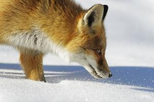 Close-Up of a Red Fox (Vulpes Vulpes) Sniffing by Benjamin Barthelemy