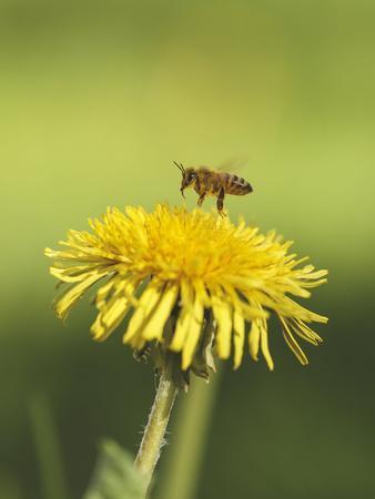 Bee lands on dandelion