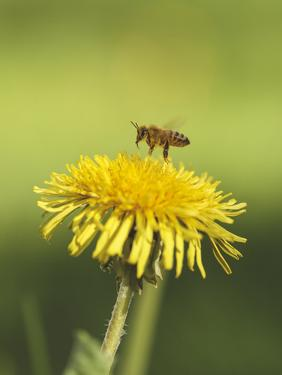 Bee lands on dandelion by Benjamin Engler