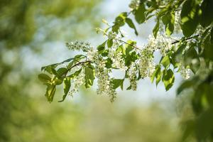 Blossoms on the tree by Benjamin Engler