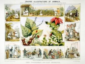 Cochineal and Lac Insects, C1850 by Benjamin Waterhouse Hawkins