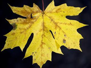A Backlit Maple Leaf Hangs from an Oregon Maple Tree, Acer Macrophyllum, in Oregon in the Fall by Bennett Barthelemy