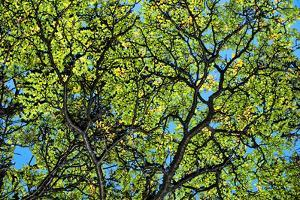 A Lenga Tree, Nothofagus Pumilio, Native to Southern Chile and Argentina by Bennett Barthelemy