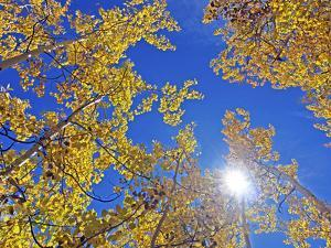 Fall Color of Aspens on the Continental Divide, Rocky Mountains, Colorado by Bennett Barthelemy