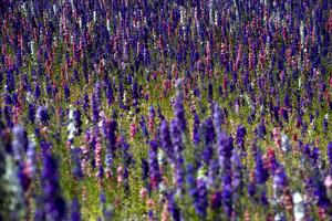 Flowers at a Farm in the Willamette Valley of Oregon by Bennett Barthelemy