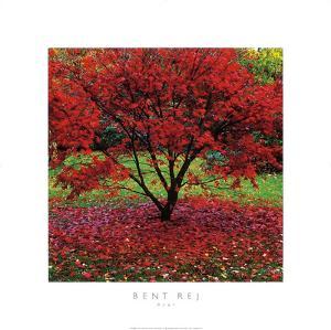 Acer by Bent Rej