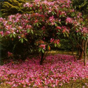 Rhododendron by Bent Rej