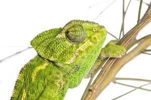 Common Chameleon (Chameleo Chameleo) in Retama Bush, Huelva, Andalucia, Spain, April 2009 by Benvie