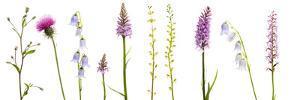 Meadow Flowers, Fleabane Thistle, Bearded Bellfower, Common Spotted Orchid, Twayblade, Austria by Benvie