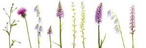 Meadow Flowers, Fleabane Thistle, Bearded Bellfower, Common Spotted Orchid, Twayblade, Austria by Benvie
