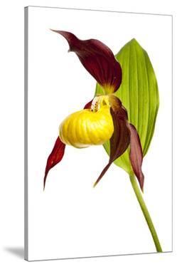 Yellow Lady'S Slipper Orchid (Cypripedium Calceolus) Flower, Queyras Natura by Benvie