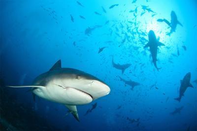 Beqa Shark Labs