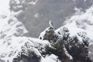 Female Gyrfalcon (Falco Rusticolus) in Snow, Myvatn, Thingeyjarsyslur, Iceland, April 2009 by Bergmann