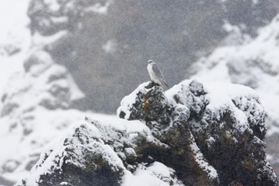 Female Gyrfalcon (Falco Rusticolus) in Snow, Myvatn, Thingeyjarsyslur, Iceland, April 2009