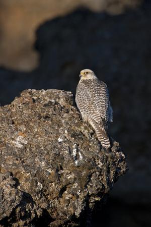 Female Gyrfalcon (Falco Rusticolus) Perched on Rock, Myvatn, Thingeyjarsyslur, Iceland, June 2009