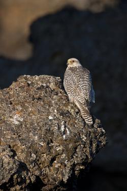 Female Gyrfalcon (Falco Rusticolus) Perched on Rock, Myvatn, Thingeyjarsyslur, Iceland, June 2009 by Bergmann