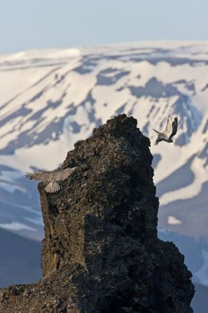 Two Gyrfalcons (Falco Rusticolus) in Flight, One Landing Other Taking Off, Myvatn, Iceland