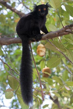 Black Lemur (Eulemur Macaco) Male, Nosy Komba, Madagascar