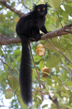 Black Lemur (Eulemur Macaco) Male, Nosy Komba, Madagascar by Bernard Castelein