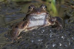 Common frog (Rana temporaria) among mass of frogspawn, Brasschaat, Belgium. March by Bernard Castelein