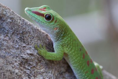 Giant Day Gecko (Phelsuma Madagascariensis Madagascariensis), Ankarana Np, Madagascar
