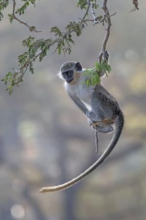 Green monkey (Chlorocebus sabaeus) swinging on branch, Gambia.