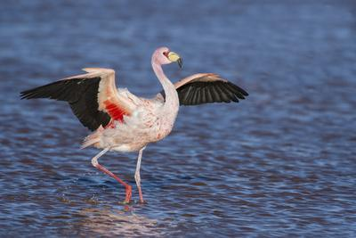 James's flamingo walking with wings outstreched Laguna Colorada, Altiplano, Bolivia