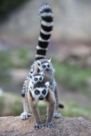Ring-Tailed Lemur (Lemur Catta) Female Carrying Two Babies