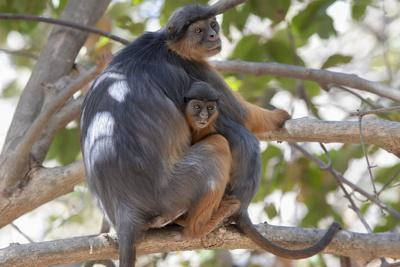 Temminck's western red colobus female and baby sitting in tree, Gambia