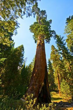 California, Sequoia, Kings Canyon National Park, General Grant Tree by Bernard Friel