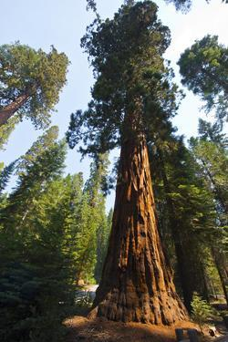 California, Yosemite National Park, Mariposa Grove of Giant Sequoia, the Colombia by Bernard Friel