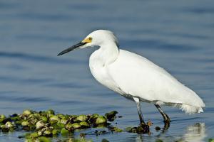 Florida, Immokalee, Snowy Egret Hunting by Bernard Friel