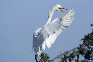 Florida, Venice, Audubon Sanctuary, Common Egret Flying and Calling by Bernard Friel