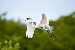 Florida, Venice, Audubon Sanctuary, Common Egret Flying by Bernard Friel