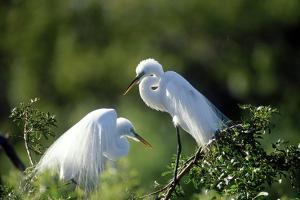 Florida, Venice, Audubon Sanctuary, Common Egret in Breeding Plumage by Bernard Friel
