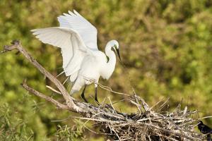Florida, Venice, Audubon Sanctuary, Common Egret Wings Open at Nest by Bernard Friel