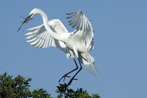 Florida, Venice, Audubon Sanctuary, Common Egret with Nesting Material by Bernard Friel