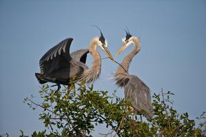 Florida, Venice, Great Blue Heron, Courting Stick Transfer Ceremony by Bernard Friel