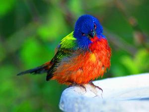 Perplexed Painted Bunting (Male) Bird, Immokalee, Florida, USA by Bernard Friel