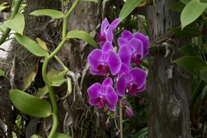 USA, Alabama, Mobile, Conservatory Flowers, Orchid by Bernard Friel