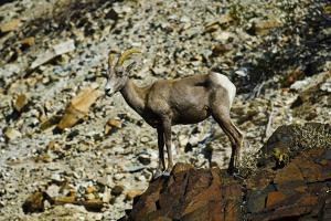 USA, California. Death Valley National Park Warm Springs Canyon, Big Horn Sheep by Bernard Friel