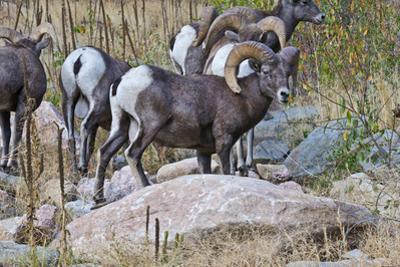 USA, Colorado, Drake, Grazing Group of Bighorn Sheep Rams by Bernard Friel