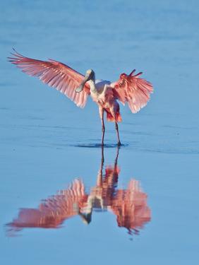 USA, Florida, Sanibel Island, Ding Darling National Wildlife Reserve, Roseate Spoonbill by Bernard Friel
