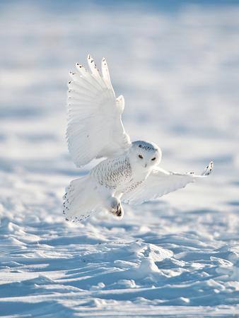 USA, Minnesota, Vermillion. Snowy Owl Landing on Snow